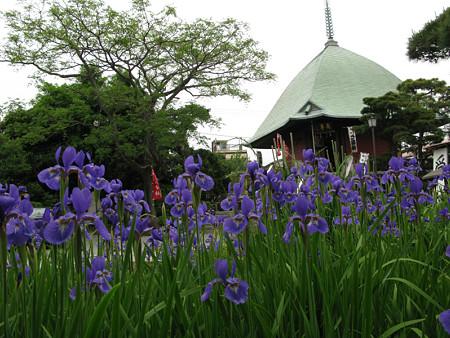 アヤメ咲く大覚寺0510