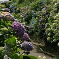 Photos: 成就院の紫陽花が見頃0607