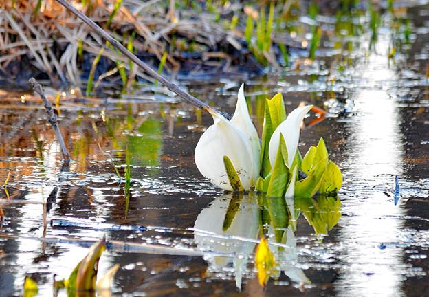 春はあけぼの水芭蕉