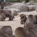 写真: 餌を貪る~高崎山自然動物園