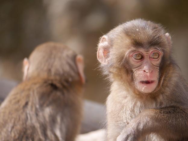 写真: ベイベー~高崎山自然動物園