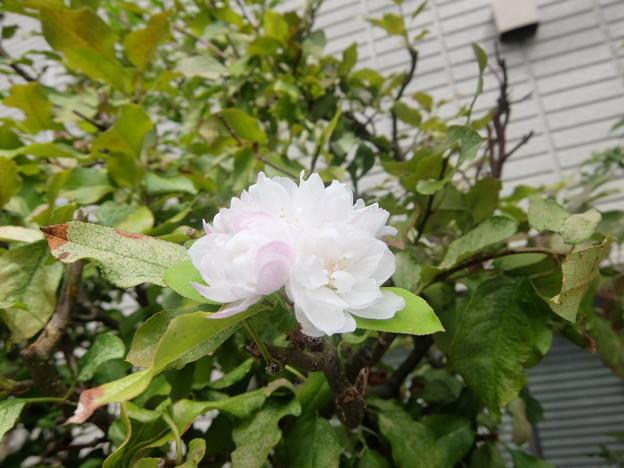 八重咲きハナカイドウ
