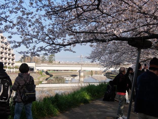 綾瀬川とサクラ