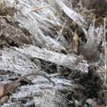 写真: 霜柱がすごい