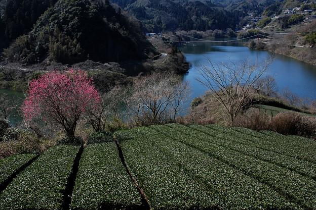 月ヶ瀬湖:お茶と梅と吊橋と・・・