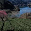 写真: 月ヶ瀬湖:お茶と梅と吊橋と・・・