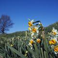 写真: 千早赤阪村:スイセンの丘