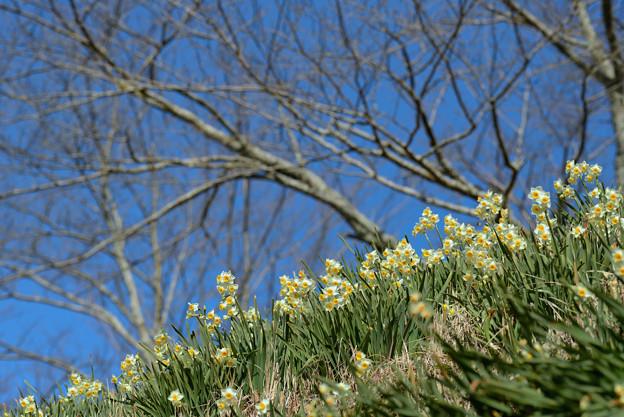 スイセンの丘:桜との共演は無理です