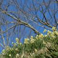 写真: スイセンの丘:桜との共演は無理です