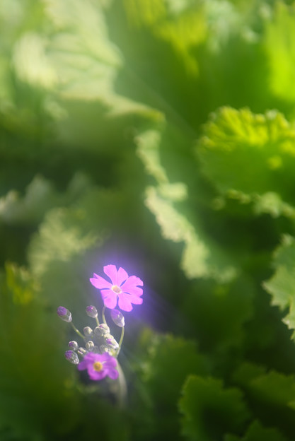 写真: プリムラ・マラコイデス(化粧桜)