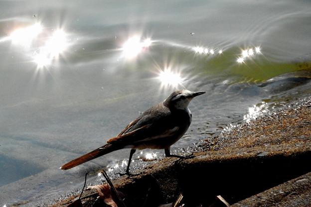 光の中のハクセキレイ