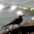 写真: 光の中のハクセキレイ