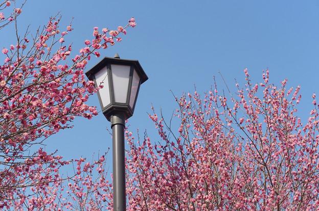 明日香で見た八重の花梅