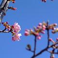 写真: 河津桜開花