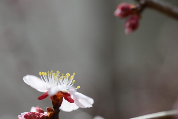庭の花梅(2)