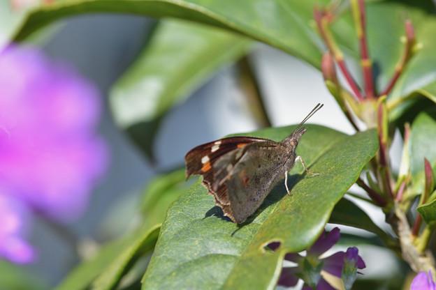 写真: テングチョウの翅裏・・・