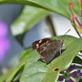 テングチョウの翅裏・・・