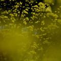 写真: 山茱萸:サンシュユ