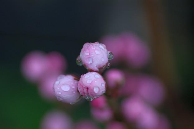 花桃にももうすぐ春が・・・