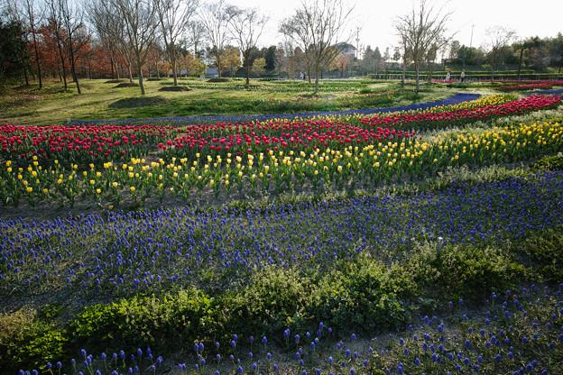 馬見丘陵公園:春満開