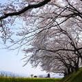 写真: 藤原宮跡:醍醐池の桜