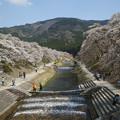 写真: うぐい川のソメイヨシノ