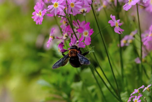 写真: サクラソウとクマバチ