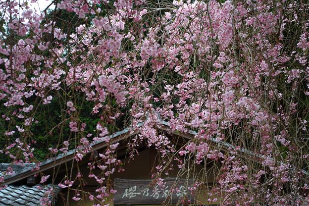 「櫻乃香和家」の紅枝垂れ桜
