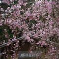 写真: 「櫻乃香和家」の紅枝垂れ桜