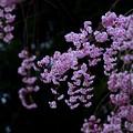 写真: 紅枝垂れ桜