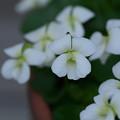 Photos: 白いスミレ