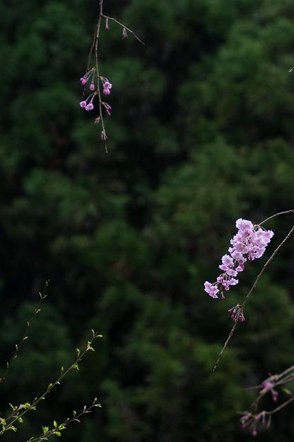 Photos: 八重紅枝垂桜