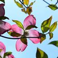 写真: 爽やかな花水木