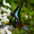 写真: アオスジアゲハと白花サクラソウ