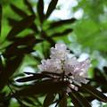 緑陰の石楠花
