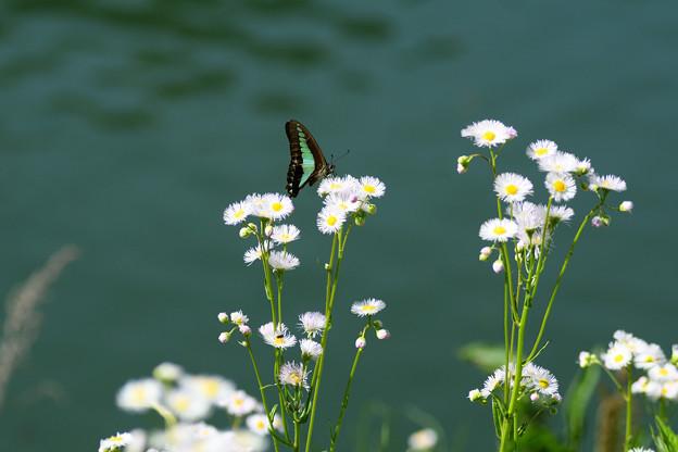 湖面のアオスジアゲハ