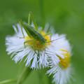 写真: ヤブキリの幼虫