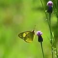 新緑色とモンキチョウ