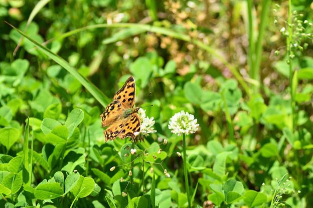 写真: フレッシュグリーンの中のキタテハ