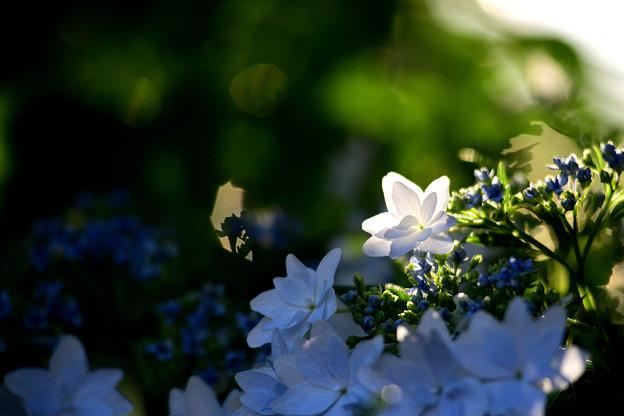 夕日に紫陽花輝く