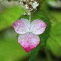 山紫陽花:梅雨化粧
