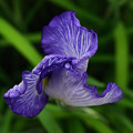 写真: 花菖蒲:花開く