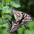 写真: アゲハチョウの美男美女