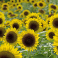 写真: Sunflower(1)