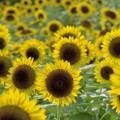 写真: Sunflower(1)