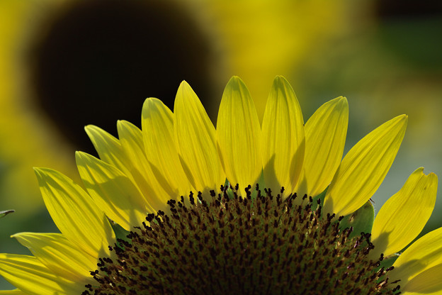 Sunflower(2)