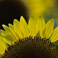 写真: Sunflower(2)