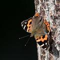 写真: 擬木にとまったアカタテハ
