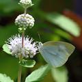 段菊とモンシロチョウ