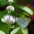 写真: 段菊とモンシロチョウ